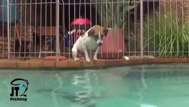 犬が水中にもぐってナマズを捕る