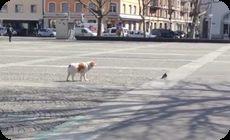 犬がハトを狩る
