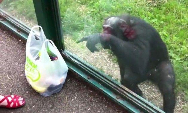 チンパンジーがジュースをねだる。