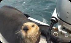 人間のボートにシャチから逃げ込むラッコ