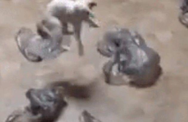 ゴミ袋で遊ぶネコ