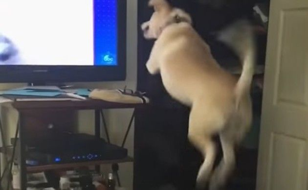テレビに向かってワンコがジャンプ