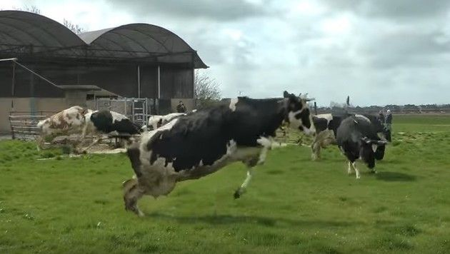 放牧された牛たち