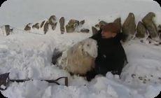 雪に埋もれたヒツジ