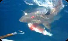 サメが獲物を横取り