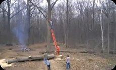 大木の枝打ち