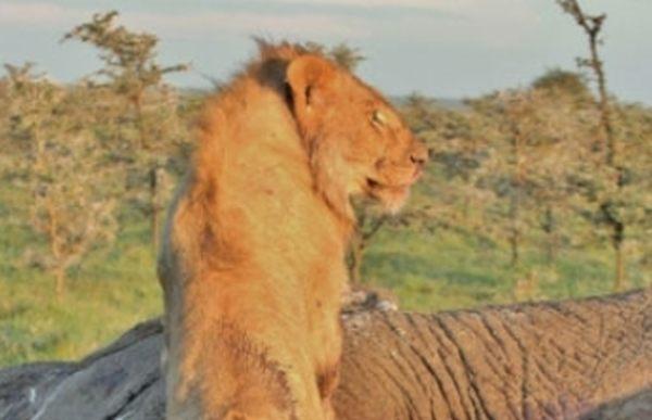 ライオンがゾウを食べようとしたら